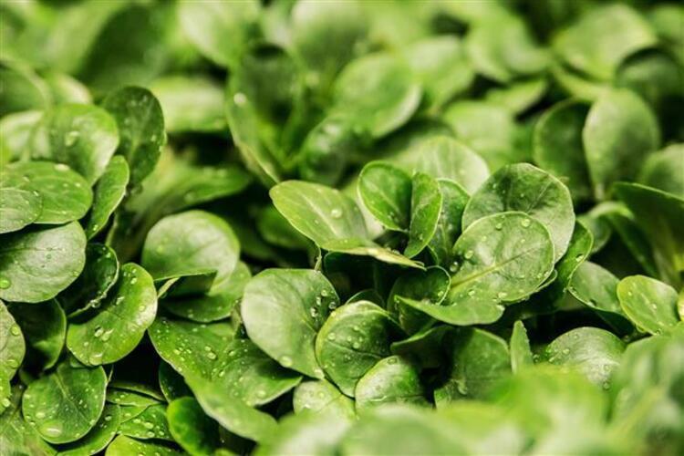 Damar sertleşmesine ve kalp hastalıklarına yeşil yapraklı sebzeler