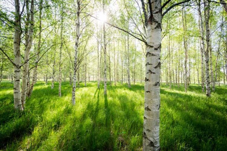 Porsuk Ağacı (Huş) (24 Haziran)