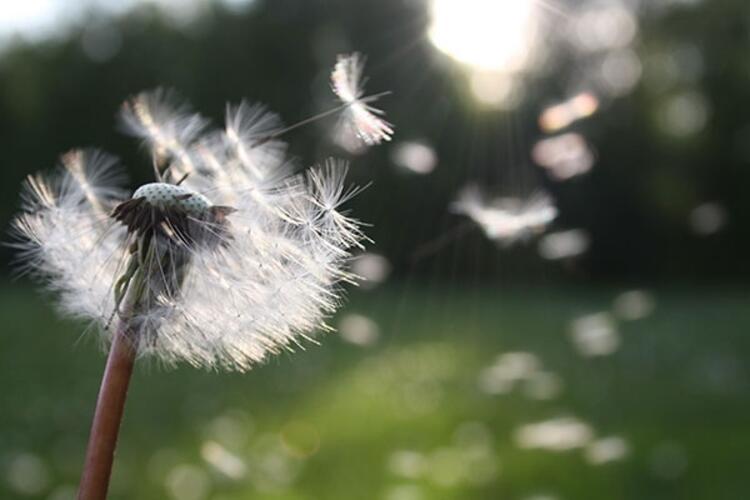 Alerjiye davetiye çıkaran polenler