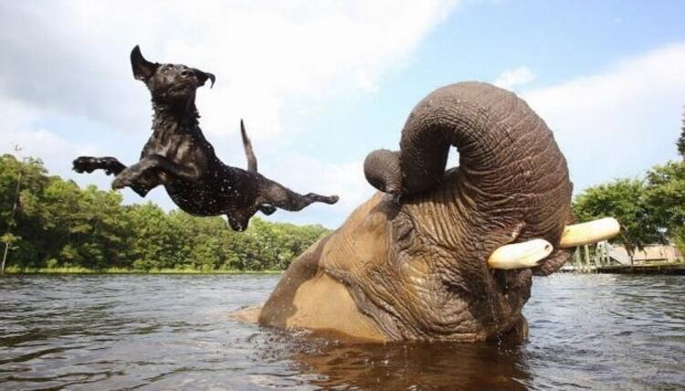 Afrika fili Bubbles ve siyah labrador Bella
