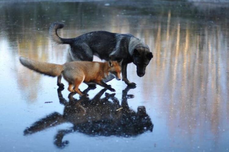 Köpek Tinni ve vahşi tilki Sniffer