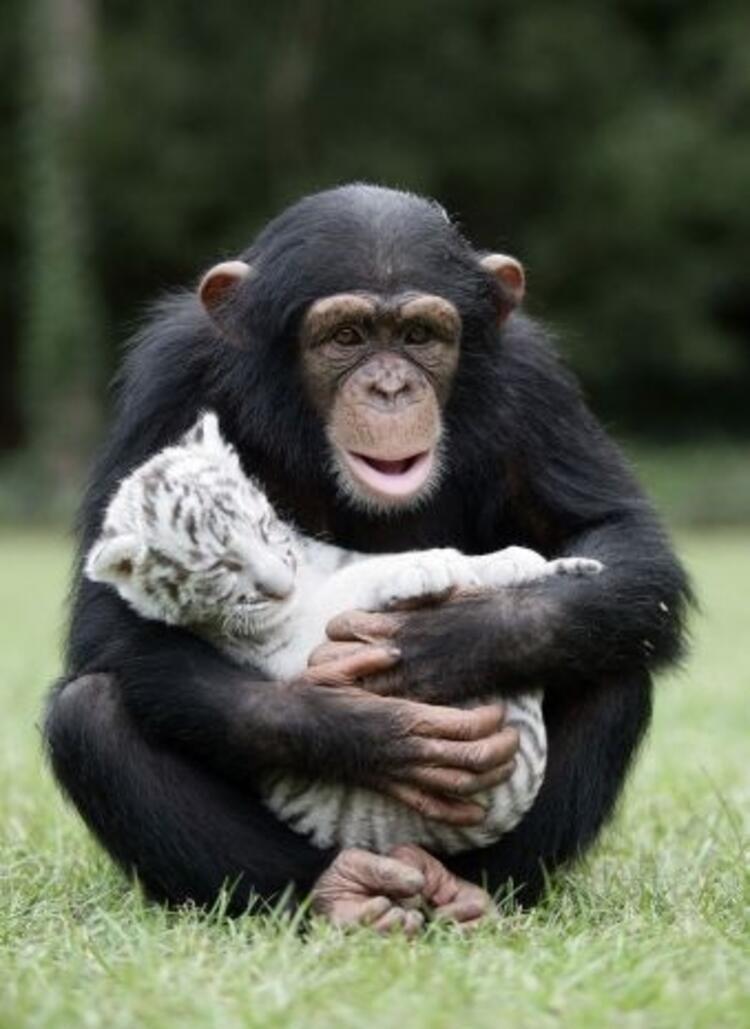 Şempanze Anjana ve kaplan yavrusu