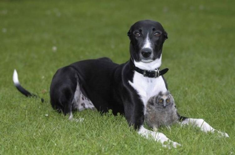 Köpek Torque ve Baykuş Owl