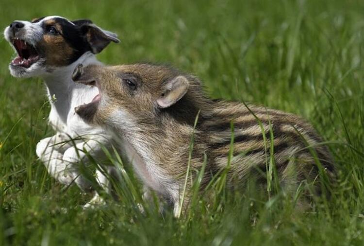 Yaban domuzu Piglet ve şeker köpek