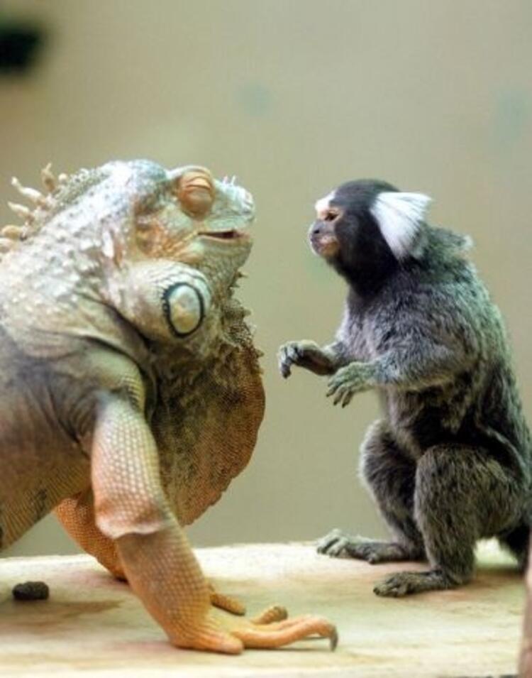 Yeşil iguana ve ipek maymun