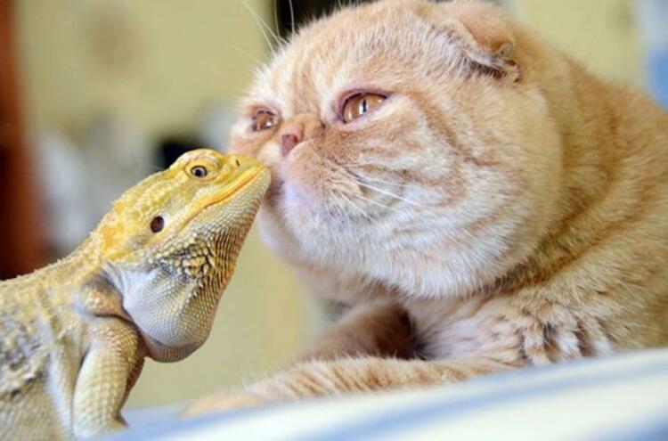 Sakallı ejder ve kedi