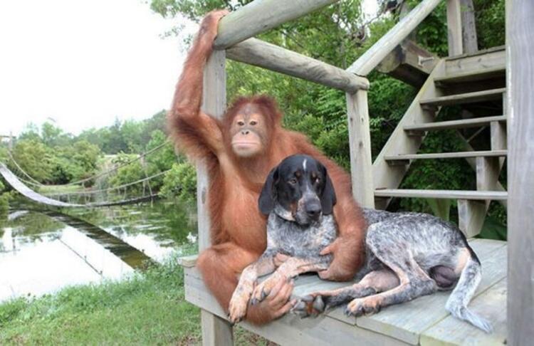 Orangutan Suryia ve köpek Roscoe