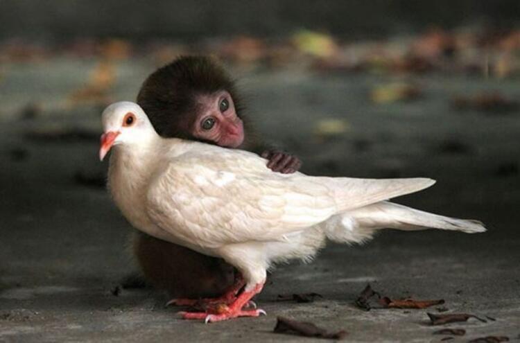 Sevimli maymun ve güvercin