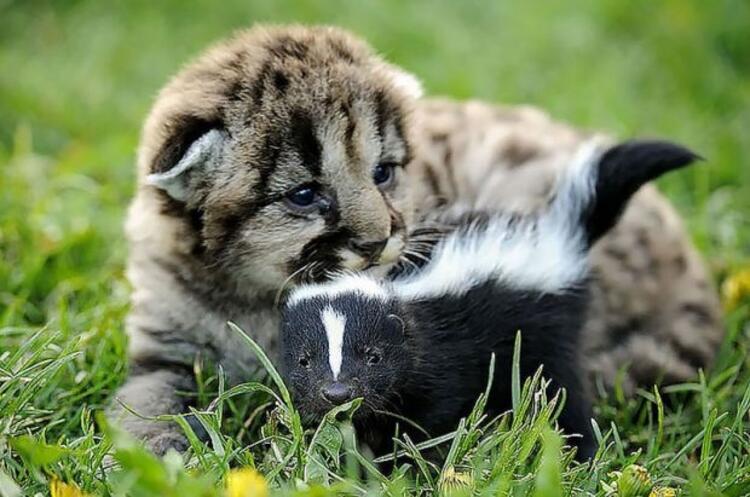 Yavru aslan ve bebek kokarca