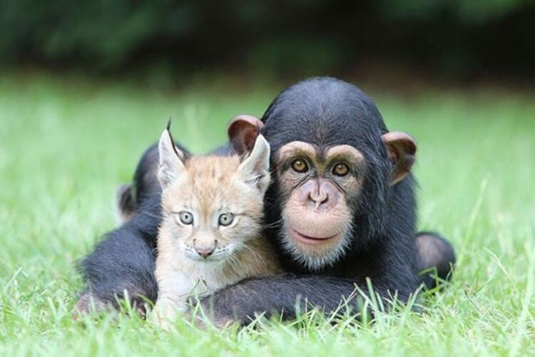 Bebek Chimp ve Lynx