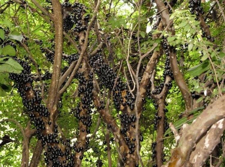 Ağaç üzümü