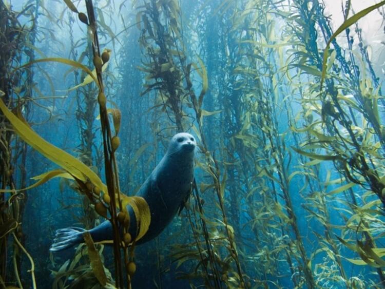 Meraklı fok balığı - ABD