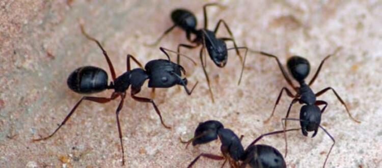 Karıncaları evinizden uzak tutar