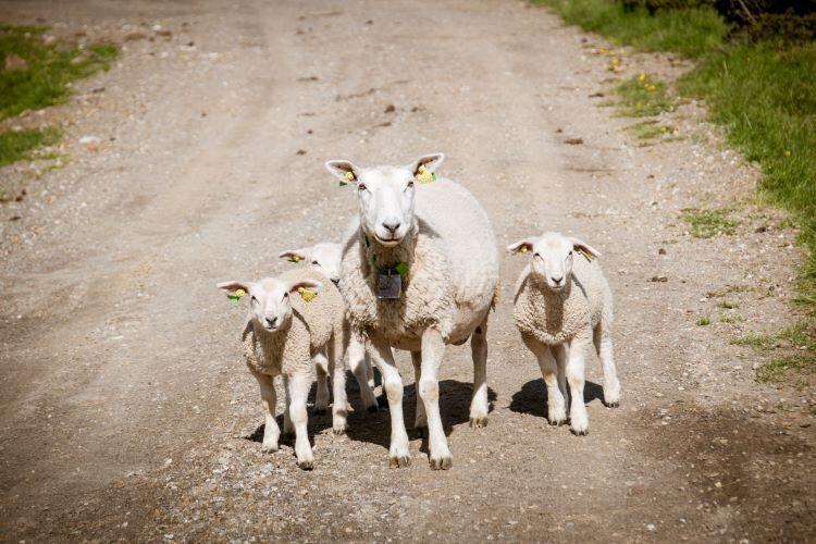 İskoçya'da koyunlar biraz gerginleşiyor
