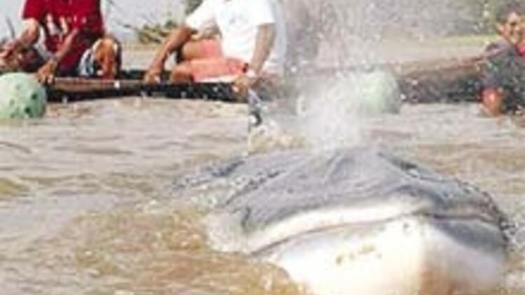 Japonya'da 'bilimsel' balina katliamı