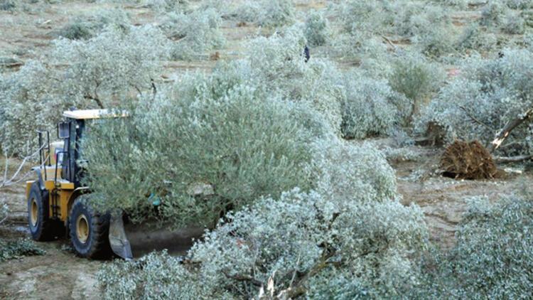 6 bin zeytin ağacını kestiler, Danıştay durdurdu