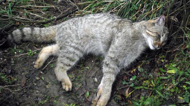 Yaban kedisi taş ocağındaki patlamada öldü