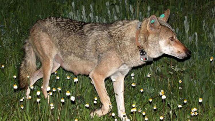 İlk uydu verici takılan dişi kurt 'Asena' öldürüldü