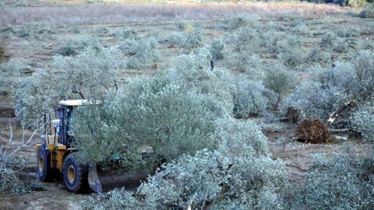 6 bin zeytin ağacı kesildi, Danıştay'dan yürütmeyi durdurma kararı çıktı