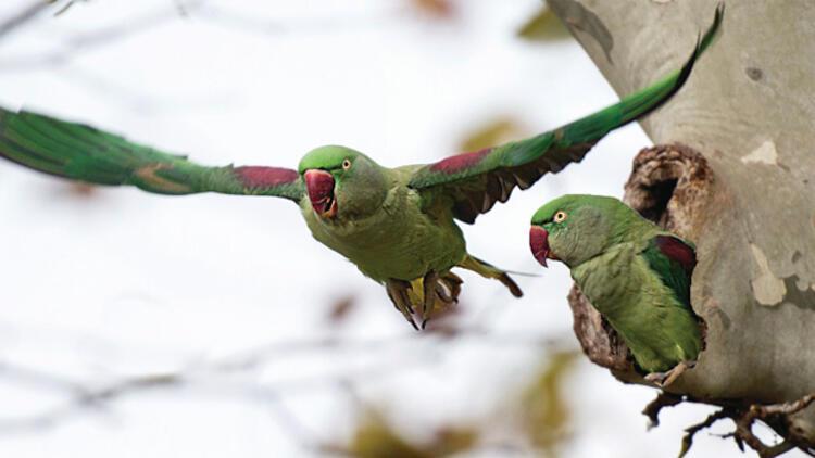 Şehri papağanlar bastı