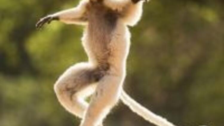 Maymunların dansı