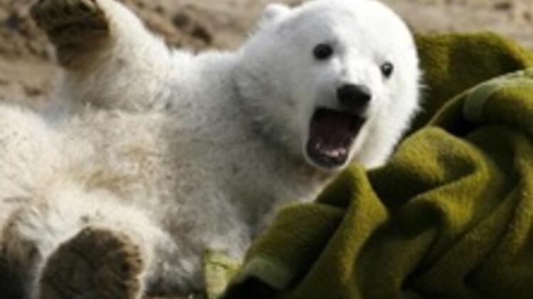 Knut'un doğum günü coşkusu