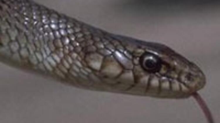 Ayakları olan yılan bulundu