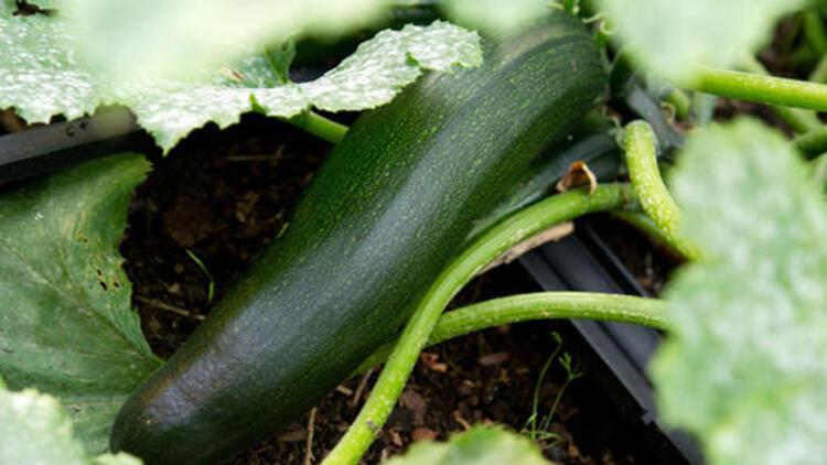 Bahçesinde yetiştirdiği kabaktan zehirlendi
