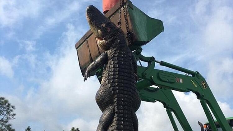 7.5 metrelik timsahı öldürdüler
