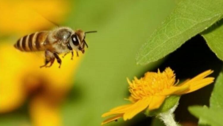 Dünya Düzce'de yetişen arıların peşinde!