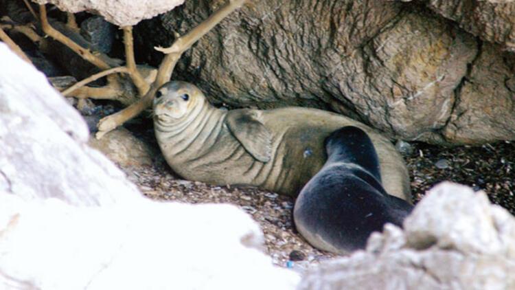 Biri Akdeniz foklarını gözetliyor