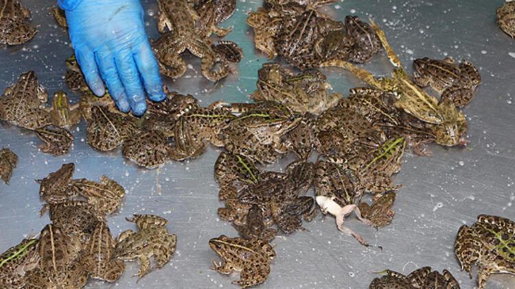 Türkiye'deki kurbağa bacağına milyonlar ödediler