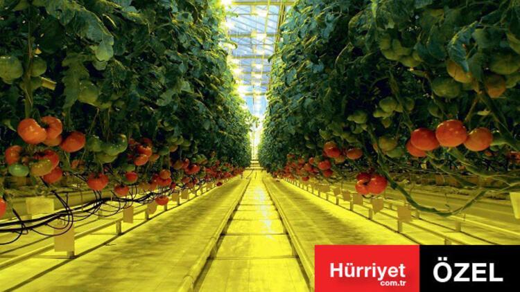 Rusya Türk domatesini neden almıyor? İşte 3 maddede cevabı