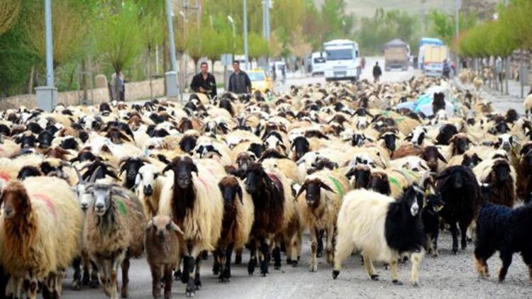 Üreticilere dağıtılacak 300 koyun projesinin ayrıntıları belli oldu