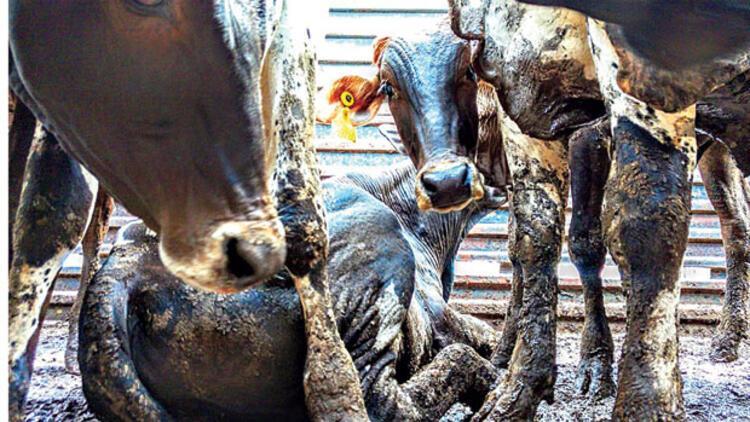 Ucuz et için hayvanlara işkence edilebilir mi? Bu bir insanlık sınavı!