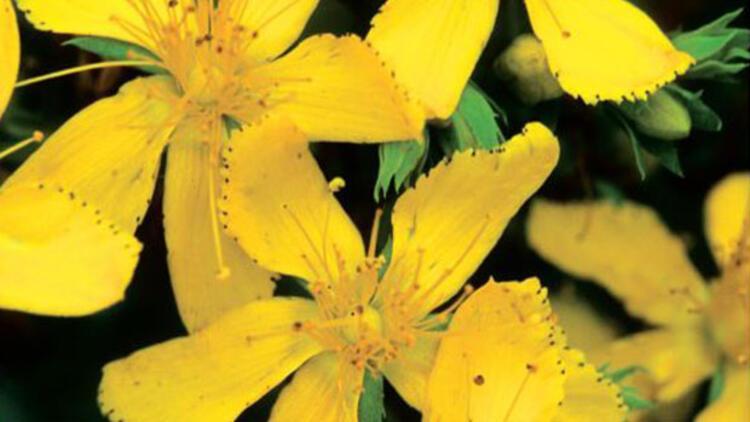 Sarı kantaronun faydaları - Sarı kantaron yağı nasıl yapılır?