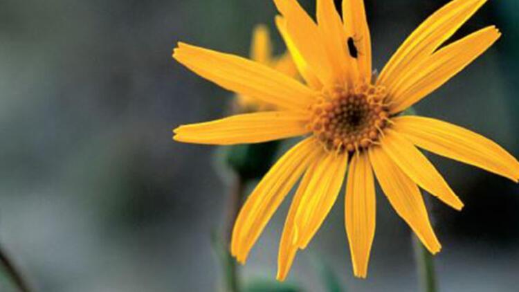 Şişliklere iyi gelen Arnika bitkisinin faydaları