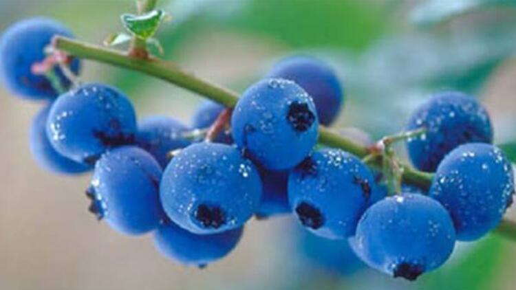 Ayı üzümü çayı nasıl yapılır? Ayı üzümünün faydaları ve zararları nelerdir? İşte kullanım şekli