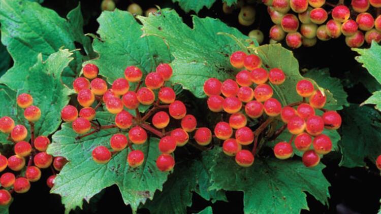Kara Alıç bitkisi nedir, faydaları nelerdir?