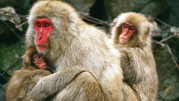 Onlar da 'aletli' primat