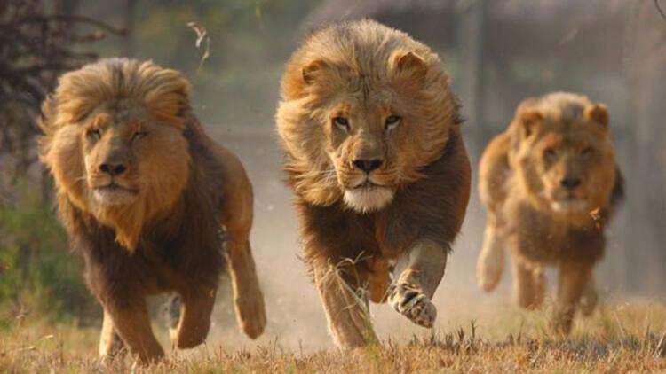 Bir ayı, iki kaplan, iki aslan ve jaguar firar etti
