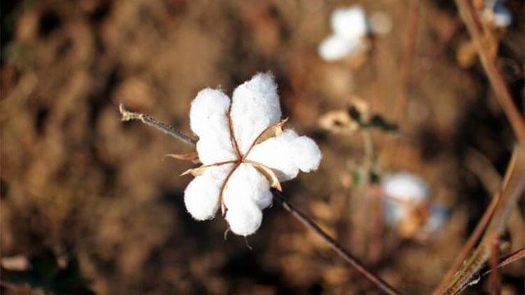 Harran'da pamuğa karşı alternatif ürün yetişiyor