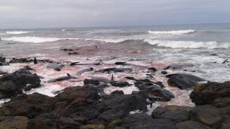 Yeni Zelandada 1 hafta içinde 200 balina kıyıya vurdu