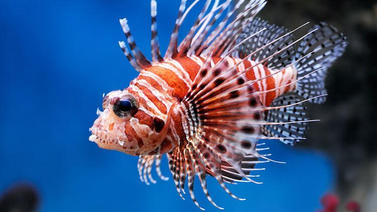 Zehirli aslan balığı doğru temizlenirse yenebilir