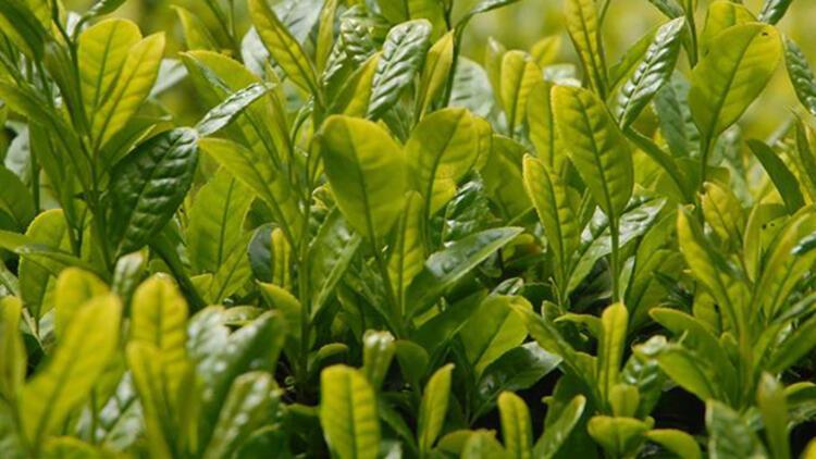 Çay üreticilerine fark ödemesi ne zaman yapılacak?