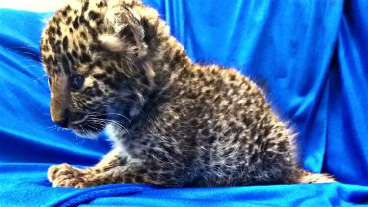 Bavulundan leopar yavrusu çıktı