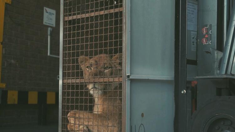 Sirk aslanları THY ile doğal yaşam alanlarına kavuştu