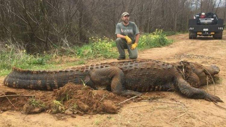 ABD'de 320 kilo ağırlığında dev bir timsah bulundu
