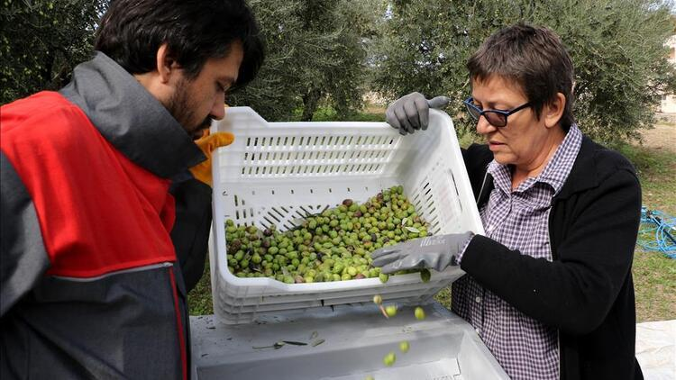 Sofralık zeytinin dörtte biri Almanya'ya ihraç edildi