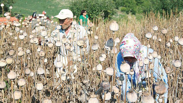 12 ilde 70 bin üretici haşhaş ekiyor